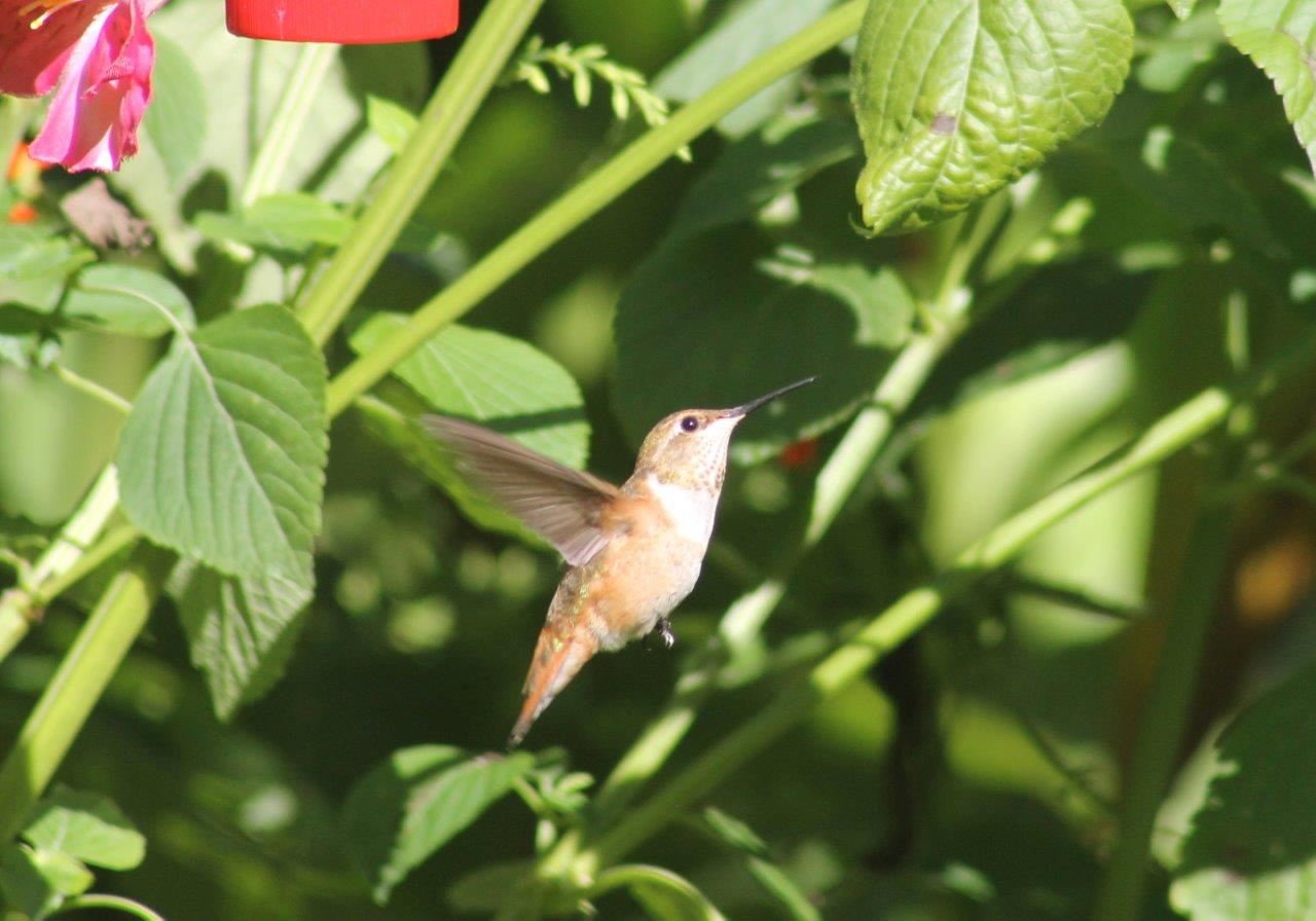 Lancaster Co Rufous flying - photo by Ruth Witmer