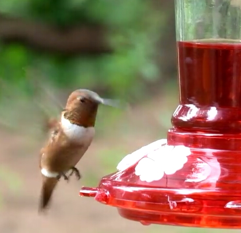 Berks Co unbanded Rufous near feeder - vidcap from video by Gabe Bankes