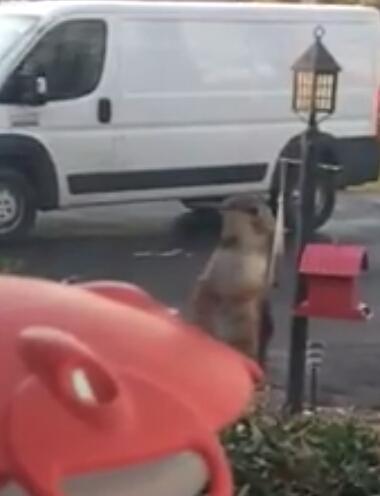 Parsonburg Rufous on feeder - vc - video by BJ Fleming