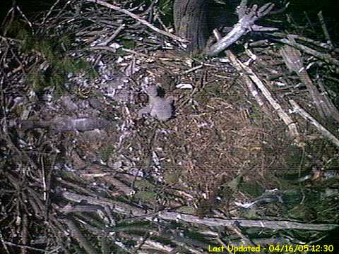 Hatchling Bald Eagle from Mass eagle nest in Connecticut River on 4/16/05 at 1 week of age.